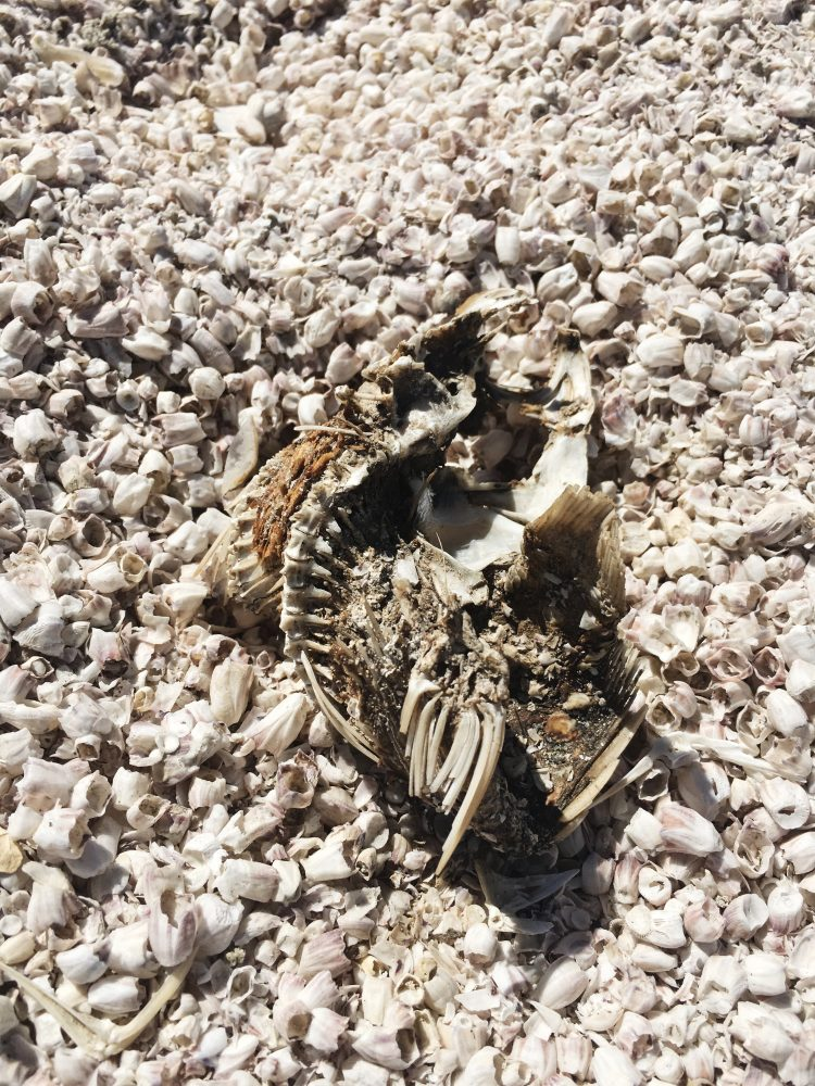 Fish Bones Skeleton at Salton Sea